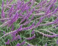 Salvia leucantha in 50mm forestry tube perennial plant