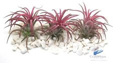 Air plants (tillandisa) Ionantha 3x Ionantha Red Air Plants - Craftmoor