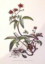 PLANCHE ANCIENNE BOTANIQUE  COMARET DES MARAIS N°71 (FL1)