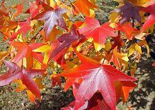 5 AMERICAN SWEET GUM TREE LIQUIDAMBAR GUMBALL LANDSCAPING TREES STARTER PLANTS
