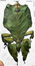 "Lot of 5 Leaf Mimic Phyllium pulchrifolium Green Female 3""+ FAST SHIP FROM USA"