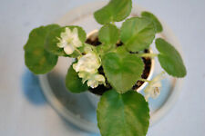 "African Violet ""Green Dragon"""