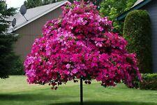 Rare Petunia Tree Morning Flower Pot Plants Bonsai Home Garden Seeds 100pcs
