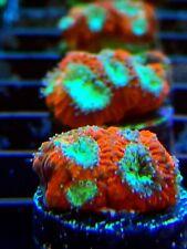 New listing Coral Frag Blue Eye Brain Favia Lps Micro Acan Lobo Type Beginner Hearty Nano