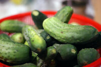 cucumber PICKLING, canning pickle 55  seeds! GroCo