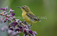 Singapore sunbird wildlife digital photo image for personal uses