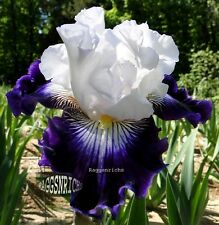 "Tall Bearded ""Dancing Star"" Iris - Showy Inky Blue Purple '09 * Pre-Sale Plant"
