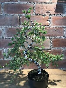 Japanese Larch Bonsai Tree