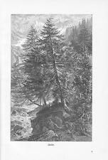 Europäische Lärche Larix decidua Lärchen im Gebirge DRUCK von 1898 Botanik