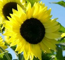 Lemon Queen Sunflower Seeds 30+ Annual flowers Garden bees Birds Free Shipping
