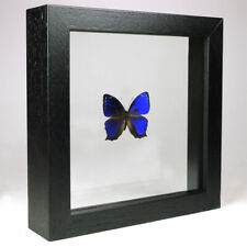 Real taxidermy butterfly mounted in double glass frame - Ptychandra Negrosensis