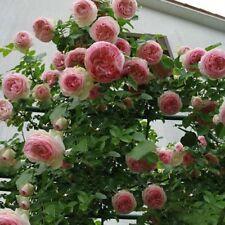 100pcs Climbing Pink Rose Seeds Rosa Multiflora Perennial Flower Garden Decors