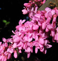 Judas Tree Seed - A Biblical Tree Deep Pink Flowers Easily Grown Tree to 15m
