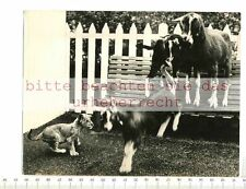 Original Press Photo: Lion Baby Plays with Goat in London Festival Garden