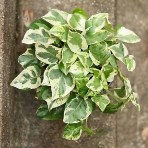 Pearls and Jade Pothos ~ one starter