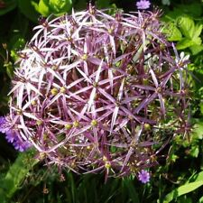 3 ALLIUM CHRISTOPHII BULB STAR OF PERSIA CORM AUTUMN GARDEN SPRING PURPLE FLOWER