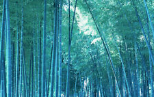 60 pcs - Blue Bambusa tree Moso Bamboo Seeds Rare with instructions