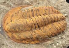PERFECT HAMATOLENUS TRILOBITE FOSSIL FROM MOROCCO - WELL PRESERVED (S6)