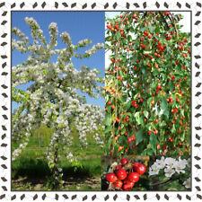 Malus Red Jade, Crab Apple tree (10+ viable seeds per package)