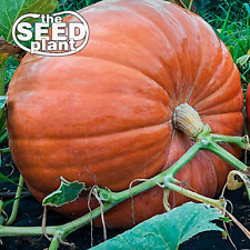 Big Max Pumpkin Seeds - 10 SEEDS NON-GMO