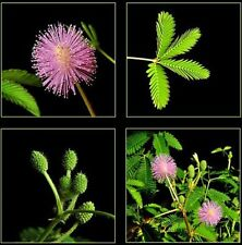100+ Graines Sensitive , Mimosa pudica , Sensitive Plant seeds