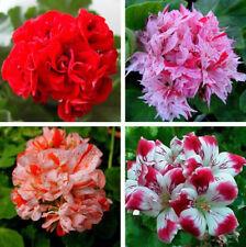 Rare Geranium Seeds Giant Geranium Collection Pelargonium Perennial 50 Pcs NEW S
