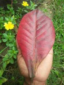 20pcs Dried Almond Leaves Catappa, Dried, for Fish, Shrimp, Aquarium