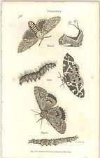 1806 Zoología Shaw insectos phalaena vinula Caja nupta Grabado