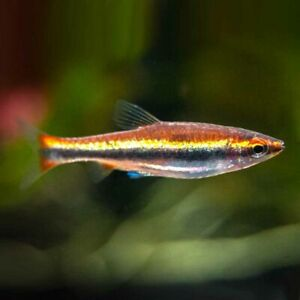 PENCIL FISH TETRA - PEACEFUL VIBRANT PENCILFISH GOLD/ORANGE AQUARIUM LIVE FISH