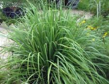 Ship From Us - Lemon Grass 50 Seeds - Cymbopogon - Herb - Home Garden Diy Plant