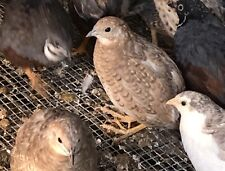 25 Fertile Button Quail Egg