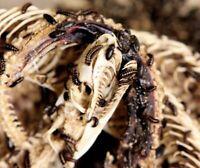 Skull Creation's 2,500+ Dermestid Beetle Colony European Mount Taxidermy Beetles