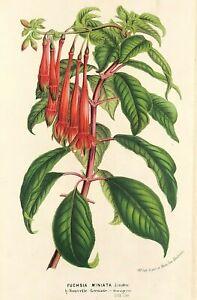 Botanical Print FUCSIA MINIATA by Louis Van Houtte c1850 original antique