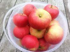 Discovery Apple Tree 4-5ft 5L Pot, Ready to Fruit, Crisp,Juicy, Strawberry Taste