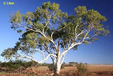 Eucalyptus victrix Western Coolibah or Snow Queen - 200 Seeds Drought Wind Tol't