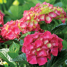 2 x Attractive Patio Shrub Hydrangea 'Magical Ruby Red' Medium (FREE UK POSTAGE)