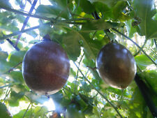 Passionfruit Plant Sweet Panama Red : Perennial Permaculture Edible Food Forest