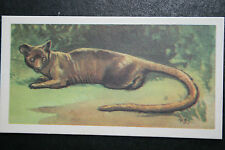 FOSSA   Madagascan Predator   Vintage Illustrated Card   # VGC
