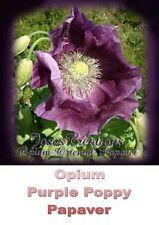 100 ORIENTAL POPPY PAPAVER QUALITY SEEDS PURPLE Multi Stem Flowers Growth *NEW*