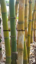 BAMBU + GRANDE del MUNDO dendrocalamus 25 Semillas Seed