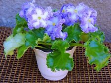 African Violet 'Partly Cloudy' - Starter Plant