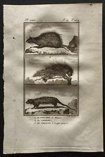 1799 - Buffon - Le porc épic / Le Coendou - Gravure zoologie
