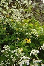 Wildblumen Blumen Cichorium intybus große Packung Zichorie 7500 Samen