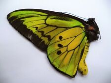 UNMOUNTED BUTTERFLIES/ORNITHOPTERA GOLIATH PROCUS  MALE .