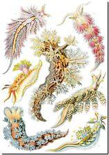 "ERNST HAECKEL CANVAS PRINT Art Nouveau Sea Slug 18""X 12"" Nudibranchia"