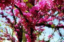 Juda´s tree*cercis siliquastrum*A tree with history*zone 6 *6 viable large seeds