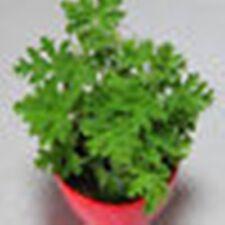 25 pc Citronella Plant seeds Mozzie buster plant mosquito repellent plant seeds.