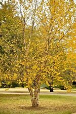 River Birch Tree (2 feet tall in full gallon containers)