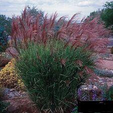 Miscanthus sinensis Gracillimus  Maiden Hair Ornamental Grass for a 6 inch pot