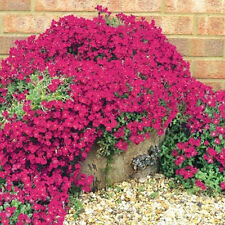 200 seeds of Rock Cress - Bright Red GROUNDCOVER wall cover flowers
